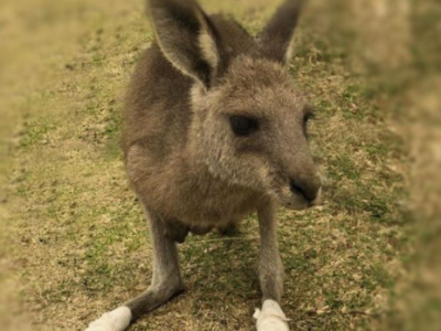 Essential Science: Animal magic, kangaroos can 'talk' to us
