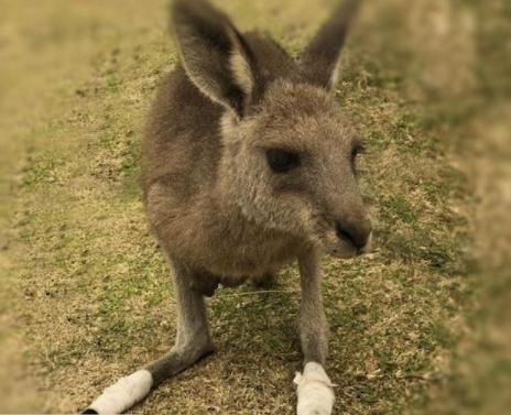 Essential Science: Animal magic, kangaroos can 'talk' to us